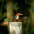 White throated kingfisher halcyon smyrnensis is catching Stock Images