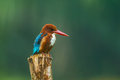 White throated kingfisher halcyon smyrnensis in nature Royalty Free Stock Photo
