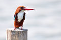 White throated kingfisher halcyon smyrnensis in petchaburi thailand Royalty Free Stock Images