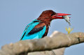 White throated kingfisher halcyon smyrnensis a with a success in its beak enjoying its feast after the hunting session right in Stock Photos