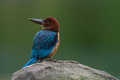 White throated kingfisher juvenile junior in a park Stock Photo