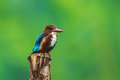White throated kingfisher in nature with nature green background Stock Photography