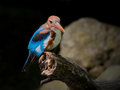 White throated kingfisher perching slightly spread its blue wings Stock Photo