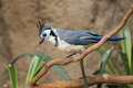 White-throated magpie jay Stock Photography