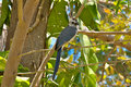 White throated Magpie Jay in Costa Rica. Stock Photography