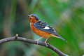 White throated rock thrush beautiful male Stock Photography