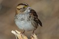 White throated sparrow close up of beautiful zonotrichia albicollis perched on the bench Stock Photography