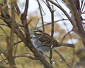 White-Throated Sparrow II Stock Photography
