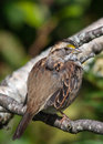 White throated sparrow perched on a branch Stock Photos