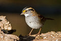 White throated sparrow standing on a log Royalty Free Stock Photos