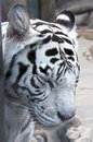 White tiger 10 Royalty Free Stock Photography