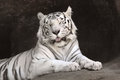 White tiger. Stock Photos