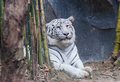 White tiger animals awesome of thai land Royalty Free Stock Photos