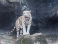 White tiger animals awesome of thai land Stock Photos