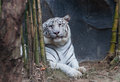 White tiger animals awesome of thai land Stock Photo