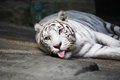 White tiger beautiful lying on stone surface on dark background Stock Images