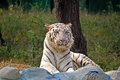 White tiger bengal in new delhi zoo Royalty Free Stock Image