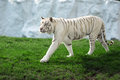 White tiger big tuger walk on green grass Royalty Free Stock Image