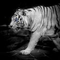 White tiger black and picture of a Royalty Free Stock Photos