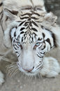 White tiger a in captivity at a zoo the presence of stripes indicates it is not a true albino Royalty Free Stock Images