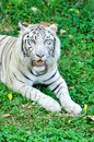 White tiger a in captivity at a zoo the presence of stripes indicates it is not a true albino Stock Photos