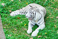 White tiger a in captivity at a zoo the presence of stripes indicates it is not a true albino Stock Images