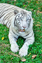 White tiger a in captivity at a zoo the presence of stripes indicates it is not a true albino Royalty Free Stock Image