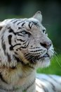 White tiger a close up shot of a Royalty Free Stock Images