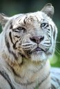 White tiger a close up shot of a Stock Photography