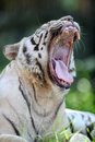 White tiger a close up shot of a Royalty Free Stock Photography