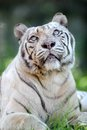 White tiger a close up shot of a Royalty Free Stock Photos