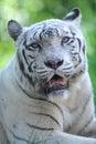 White tiger a close up shot of a Stock Photos