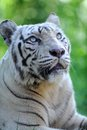 White tiger a close up shot of a Stock Images