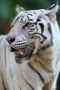 White tiger a close up shot of a Royalty Free Stock Photo