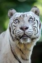 White tiger a close up shot of a Royalty Free Stock Image