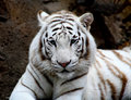 White tiger closeup Royalty Free Stock Photo