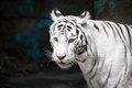 White tiger closeup of beautiful on dark background Royalty Free Stock Photos