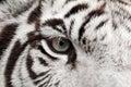 White tiger eye Royalty Free Stock Photo