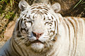 White Tiger face Stock Images