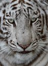 White tiger face close up of a with green blue eyes and long whiskers Stock Image