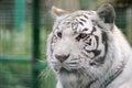 White tiger face detail Royalty Free Stock Photo