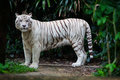 White tiger in forest the undergrowth Royalty Free Stock Image