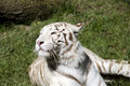 White tiger a in the grass Royalty Free Stock Photos