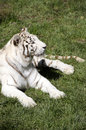 White tiger a in the grass Royalty Free Stock Images