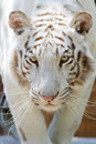 White tiger head closeup