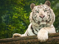 White tiger is a huge beast Royalty Free Stock Photography