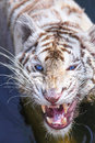 White tiger intimidate to the camera Royalty Free Stock Photos