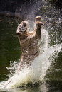 White Tiger Jumps/Jumping Royalty Free Stock Photography