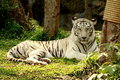 White tiger lie on grass in forest Stock Photo