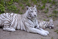White tiger lying with its little very rare panthera tigris Stock Image